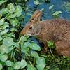 Marsh Rabbit is munching away at Duckweed (jungle mama) Tags: wetlands duckweed waterplant lemma lemnaceae marshrabbit sylvilaguspalustris supershot gmofreeworld coth5 5wonderwall wakodahatcheewetlandsdelraybeachfl duckweedshadow