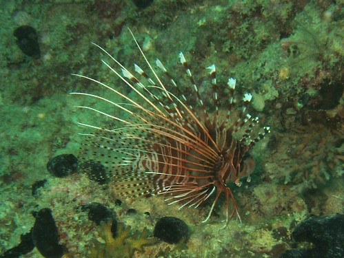 Lionfish at Mabul