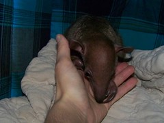 Baby Tamandua kisses
