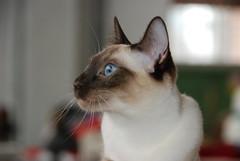 Chat siamois aux yeux bleus