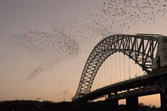 DSC_0747 (stewart charnock) Tags: bridge birds nikon cheshire starlings runcorn widnes