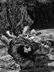 Desierto (FernandoRey) Tags: b cactus white black byn blanco argentina madera y buenos aires negro n safari grupo desierto tronco hdr escobar hueco porteña temaiken hdraward