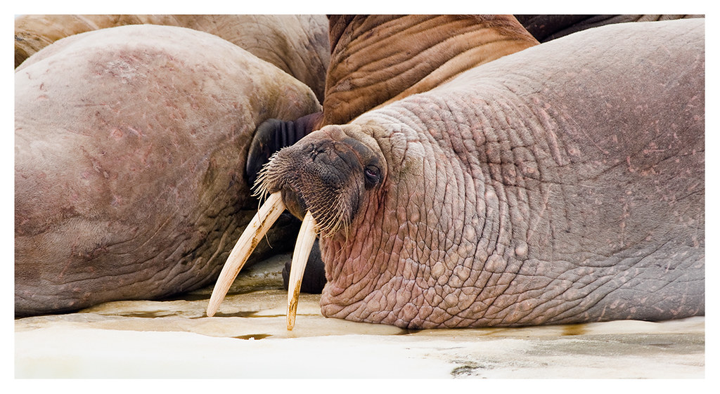 walrus moustache how to grow