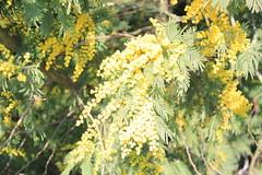 profumo di mimosa (claudio.santucci) Tags: