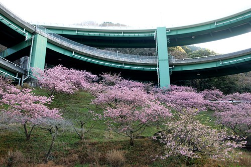Sakura of Kawazu Loop