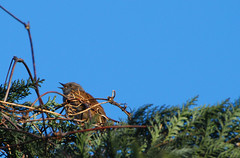 Dunnock (Prunella modularis) - Heckenbraunelle (kalakeli) Tags: birds dunnock vgel mnster prunellamodularis 2011 heckenbraunelle nikon70300