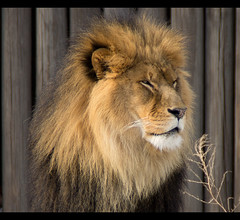 The King Up Close (btn1131) Tags: nature animals cat sony lion a33 bigcat tamron 18200 slt clevelandzoo