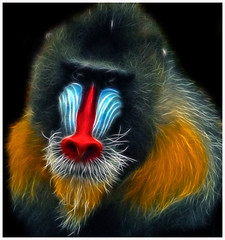 The Fractal Mandrill (Steve Wilson - over 2 million views thank you) Tags: africa uk boss blue red portrait england orange black color colour male nature animal blackbackground photoshop mammal gold zoo monkey nikon colorful cheshire african background large chester plugin fractal colourful endangered d200 alpha captive primate rare mandrill largest captivity upton onblack chesterzoo nikond200 fractalius caughall mygearandme mygearandmepremium mygearandmebronze mygearandmesilver mygearandmegold mygearandmeplatinum mygearandmediamond