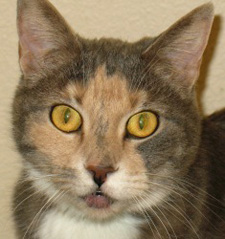 Kuffy the cat available for adoption at Nevada Humane Society