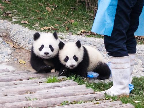 Small Pandas