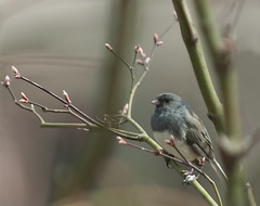Dark-Eyed Junco in Tree Among Spring Buds (Judy Rushing) Tags: bird backyard undefined remindsyouofspring herowinner pregamewinner gamesweepwinner npgm startswithjunore