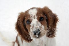 Bella (L e n k a) Tags: winter dog spaniel welshspringerspaniel springer bella welsh