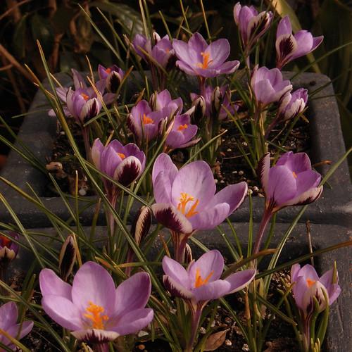"""Crocus biflorus subsp. isauricus """"Spring Beauty"""" (?)"""