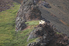 Dall sheep-3.jpg