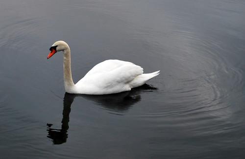 A Singular Swan
