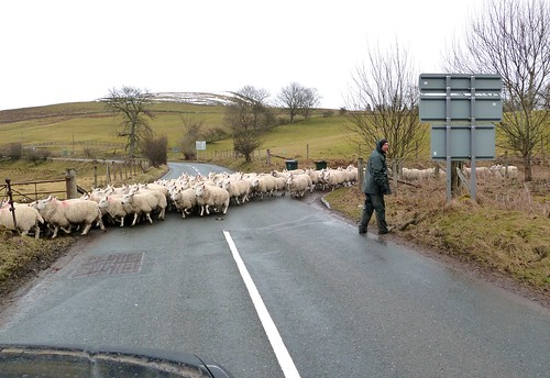 Sheep Hazard on Road