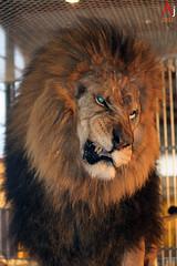 King of the Savanna (Automartinez) Tags: film canon de eos la tv pub king lione lion dent le atlas cirque tournage alban roi savanna gueule 500d joachin dompteur savane fauves criniere flickrbigcats