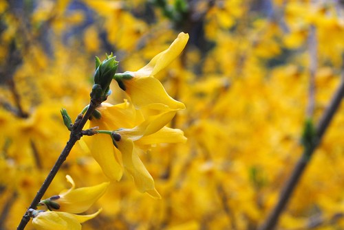 Forsythia at Duke
