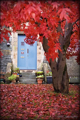 Japanese Maple Tree. (pete_tography) Tags: uk blue autumn red house tree green fall home nature leaves relax colours peace natural northwest north acer cumbria relaxation ambleside retirement thefall thelakes retire thelakedistrict petecarroll petercarroll japanesemapletree flickraward flickraward5 petetography