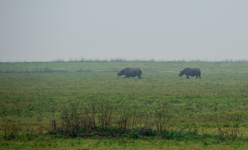 Rhinos in the Mist