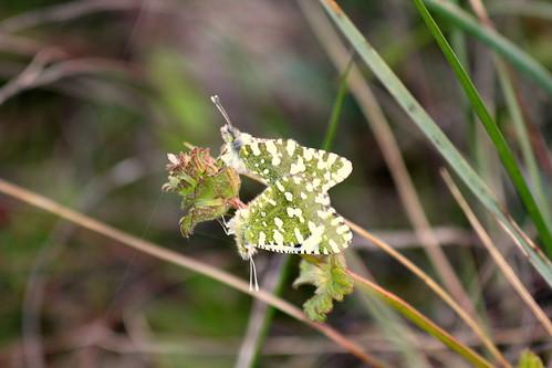 mariposas primavara