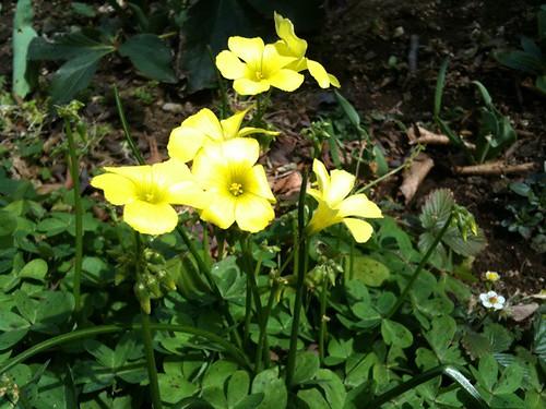 黄色い花。元気が出るなあ。