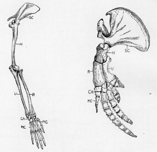 Forelimbs of a Monkey and a Whale