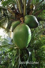 Com o tamanho desse coco posso beber e tomar um banho, diz Iani!!