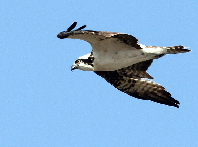 Osprey 20110323