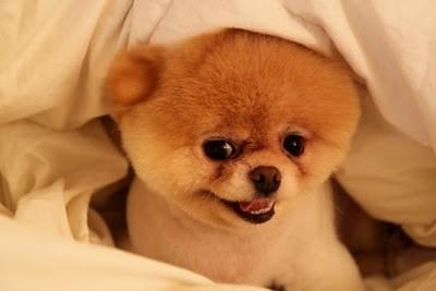 boo_Pomeranian_Dog_11