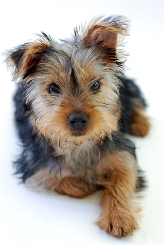 yorkie teddy pet portrait