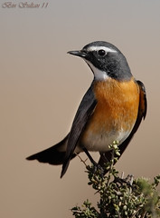 White-throated Robin before his bad story    () Tags: white robin throated