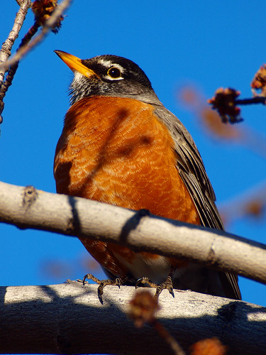 American Robin by Bryce Bradford, on Flickr