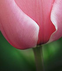 2 Delicate 4 Me (jackaloha2) Tags: pink flower green photoshop canon garden petals stem waterdrop delicate idream canoneosdigitalrebelxsi bestcapturesaoi magicunicornverybest selectbestexcellence magicunicornmasterpiece daarklandsexcellence sbfmasterpiece jackaloha2 mygearandme mygearandmepremium 2delicate4me