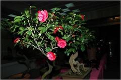 日本山茶盆栽。圖片來自:蘇夢淮。