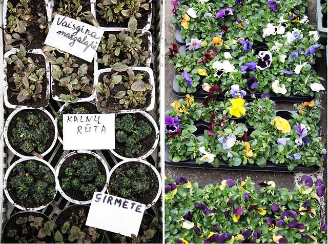 Turgaus augalai