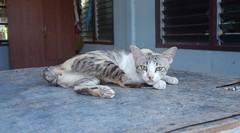 wary cat (the foreign photographer - ) Tags: dscaug212016sony wary cat khlong thanon bangkhen bangkok thailand sony rx100