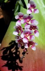 Sarcochilus Bobby Dazzler (Nelson~Blue) Tags: sarcochilus australian native orchid hybrid bobby dazzler