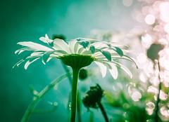A Hint of light. (Omygodtom) Tags: existinglight exotic daisy flickr flower abstract art nikon d7100 tamron tamron90mm macro macromonday bright green bokeh f28