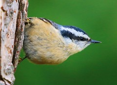 red-breasted nuthatch at Lake Meyer Park, IA 854A3350 (lreis_naturalist) Tags: redbreasted nuthatch lake meyer park winneshiek county iowa larry reis