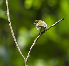 Yellow-breasted Flowerpecker (christopheradler) Tags: malaysia yellowbreasted flowerpecker prionochilus maculatus