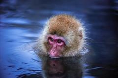 Snow Monkey - Japan (lucien_photography) Tags: rouge monkey portrait closeup animal wildlife nature nagano japan nippon macaque jigokudani snowmonkey yamanouchi winter water bath hotbath travel