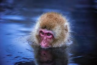 Snow Monkey - Japan