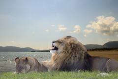 _MG_6878a (Mark Strain.) Tags: loin photoshopped markstrain 2016 lion beach teeth animal king yorkshire wildlife park zante two photos