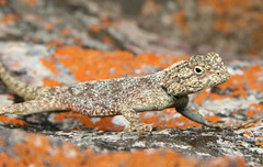 Southern Rock Agama (Agama atra atra) (cowyeow) Tags: africa orange mountains cute rock southafrica reptile african lizard safari southern lichen herp krugernationalpark herps kruger herpetology atra agama agamid herping southafricalizard