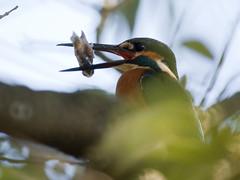 Common Kingfisher (Polotaro) Tags: bird nature pen olympus kingfisher  ep1     tamronsp500mmf855bb