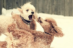 MMA Takedown  32/365 (Perry McKenna) Tags: red spoo apricot wwf takedown standardpoodle mma project365 mixedmartialart ef135mmf2lusm canon7d photo32 3652011 feb12011 mixedmartialcanineart oliversignaturemove doneonhim