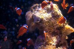 ハマクマノミ, 沖縄美ら海水族館