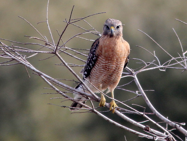 Red-shouldered Hawk 2-20110205