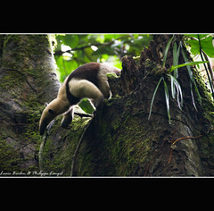 Anteater - Top of the tree - Rainforest - Corcovado National Park - Costa Rica (Lucie et Philippe) Tags: voyage trip travel america nationalpark costarica central corcovado anteater lasirena centrale osapeninsula amrique fourmilier